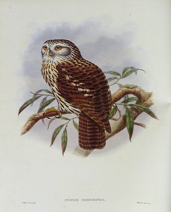 Plate 107: Ninox Dimorpha