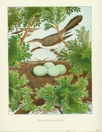 Plate 45: Yellow-billed Cuckoo