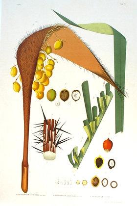 Plate 267: A. Astrocaryum Caudescens