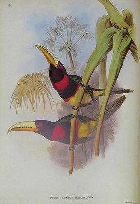 Plate 30: Pteroglossus Mariae