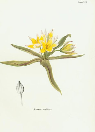 Plate 16: T. Sylvestris Linn