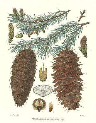Plate 608: Pseudotsuga Macrocarpa (Hemlock)