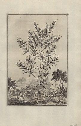 Plate 034: Myrtus perforata fructu albo