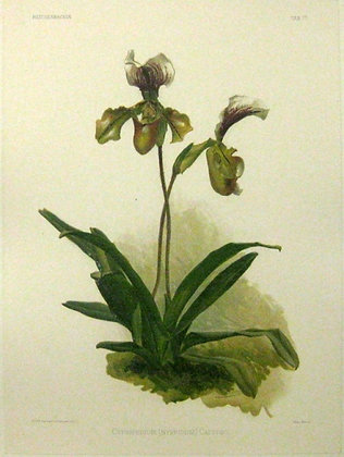 Plate 177: Cypripedium (hybridum) Calypso