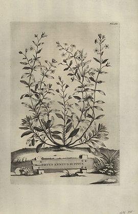 Plate 041: Cistus annuus supinus