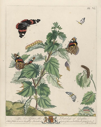 Plate 006 Red Admiral Butterfly, Small Magpie Moth
