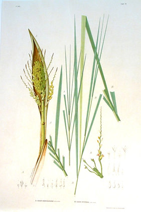 Plate 176: A. Cocos Congiauxiana