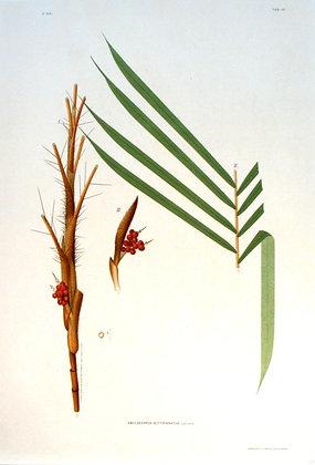 Plate 248: Amylocarpus Settipinnatus