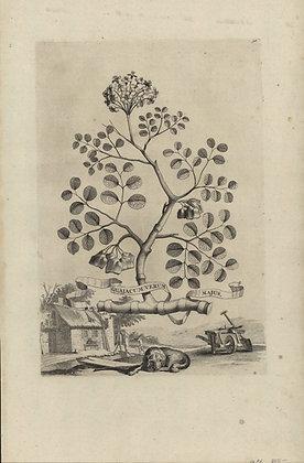Plate 016: Guajacum verum majus