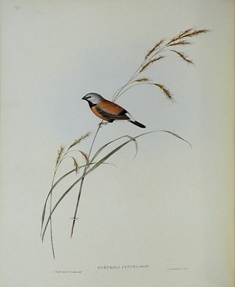 Plate 393: Poephila Cincta
