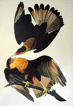 Brazilian Caracava Eagle