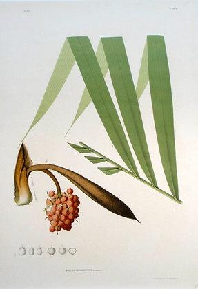 Plate 205: Bactris Tarumanensis
