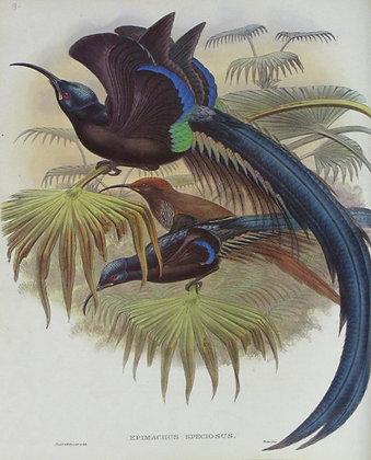 Plate 109: Epimachus Speciosus