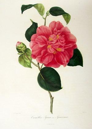 Camellia Youngii