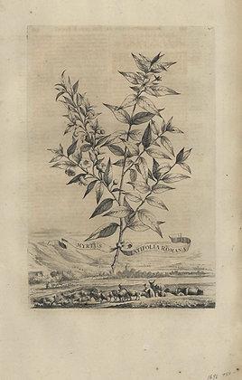 Plate 025: Myrtus latifolia Romana