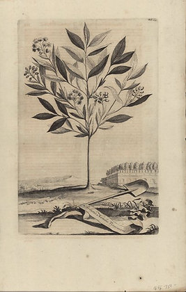 Plate 023: Arbutus humilis Virginiana