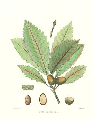 Plate 376: Quercus Prinus