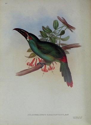 Plate 045: Aulacoramphus Haemaopygius