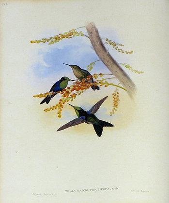 Plate 107: Thalurania Verticeps