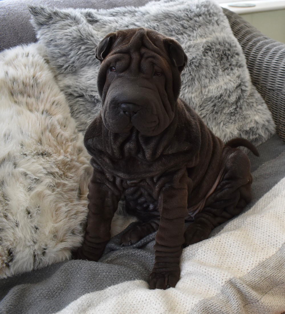 Isabella Dilute Shar Pei