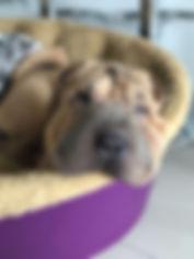 Isabella Shar Pei Puppy