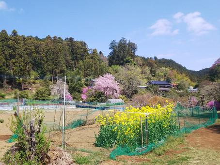 4月月例山行 越上山(おがみやま)~顔振峠(かあぶりとうげ)567m