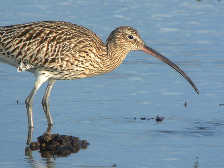 February 2021: Curlew news and views