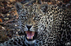 Chene leopard