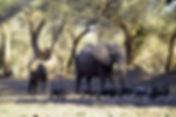 herds of eles.jpg