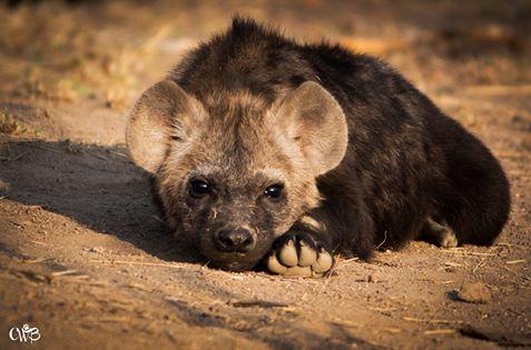 chene hyena cub