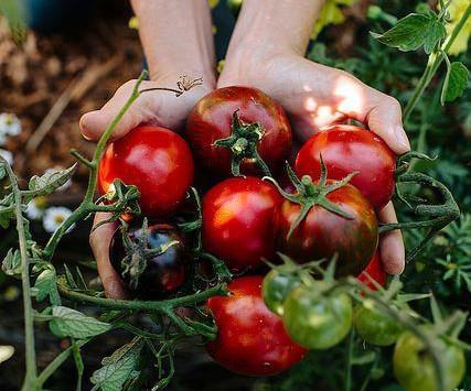 Comment la tomate est devenue une star ?