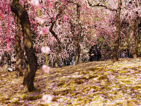 Sakura? Nah, it's Ume that is celebrated by locals. 地元で愛される春の象徴:梅