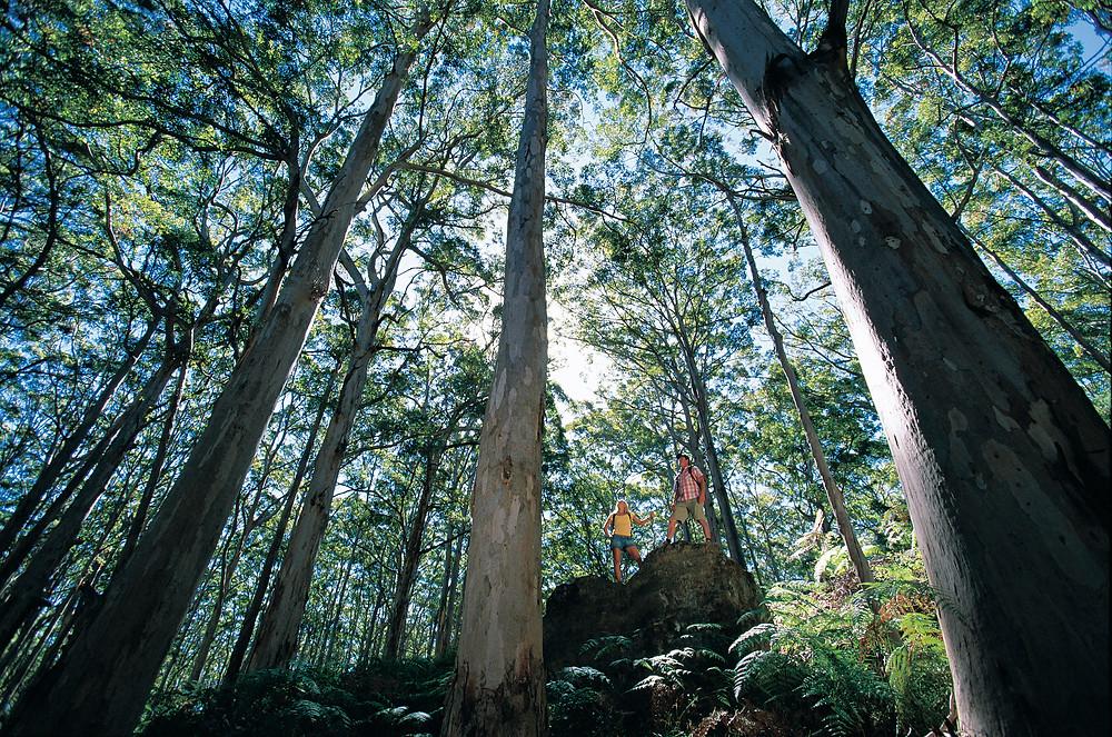 The Margaret River Region - Boranup Forest