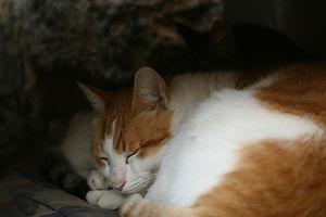 Sleeping Ginger Cat for the Winter 2018 AFOC newsletter.
