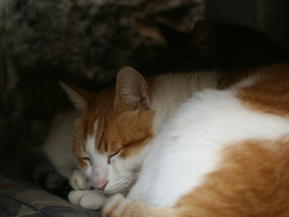ジンジャー猫眠ります