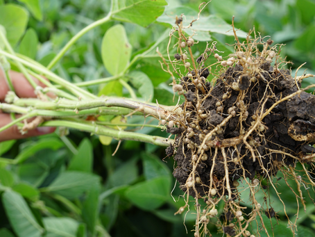 Practice Note 'Biological nitrogen fixation in legumes' available