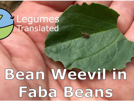 'Bean weevil in faba beans' video published
