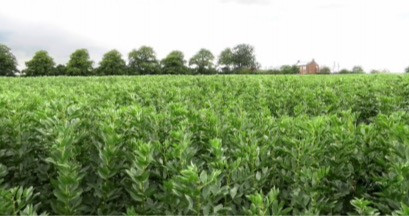 Practice Note 'Feeding faba bean to dairy cows' available