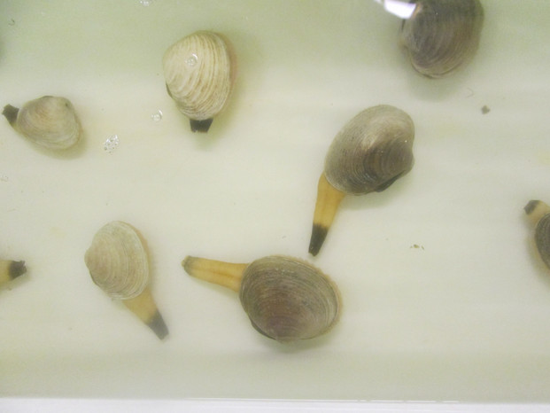 Littleneck clams are introduced to spawn. Part of the CRRC VISTA's responsibilities include supporting littleneck clam spawning at the hatchery.