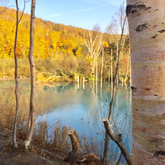 青い池と輝くシラカバ