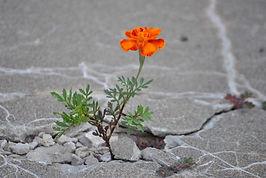 cement marigold.jpg