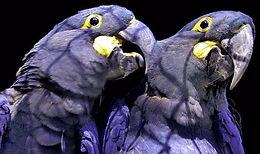 Witness: Smuggling Endangered Birds