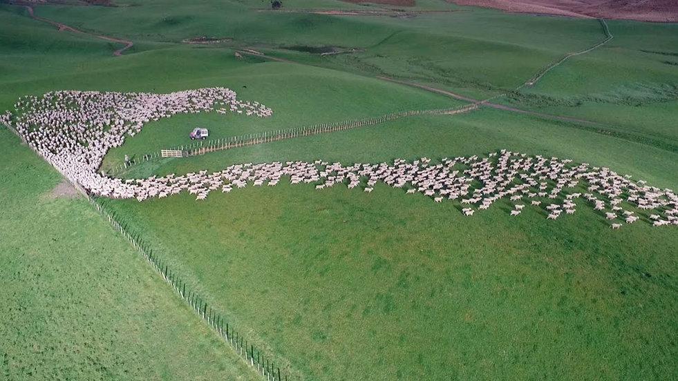 live stock - live stock herding - drone
