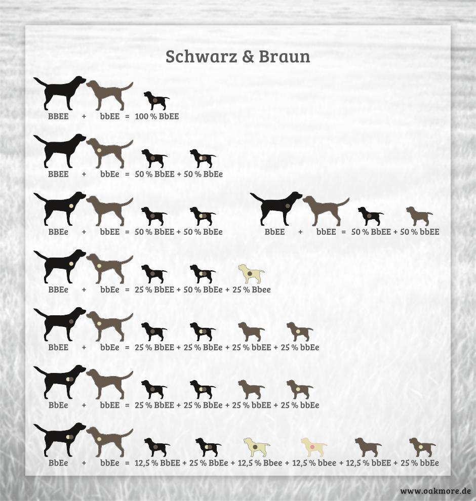 Die Farbvererbung beim Labrador – Schwarz & Braun