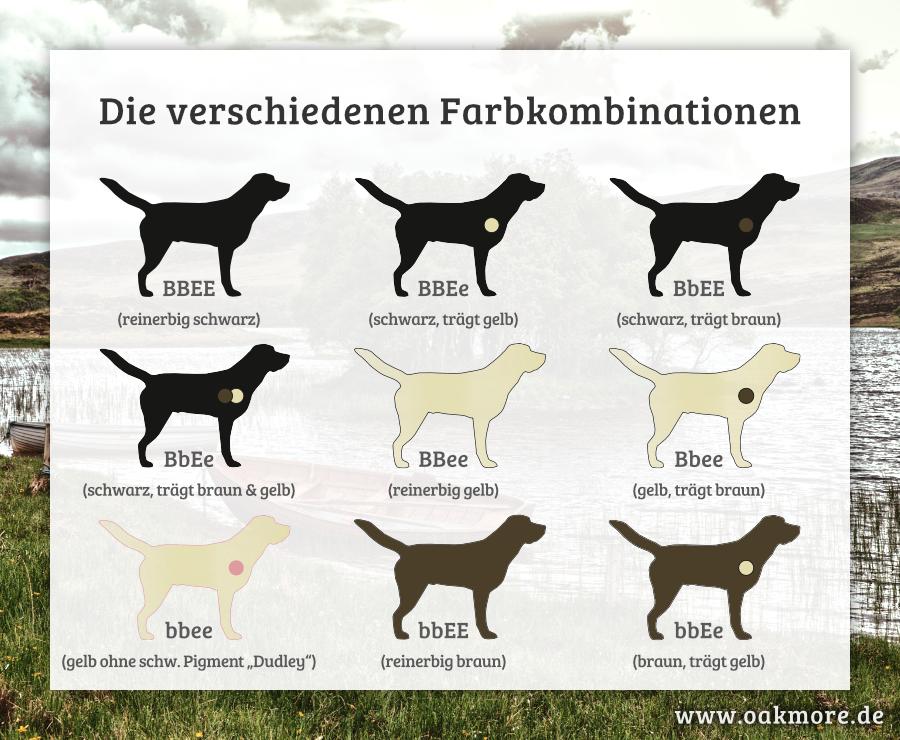 Die Farbvererbung beim Labrador – Die verschiedenen Farbkombinationen beim Labrador (Farbvererbung)