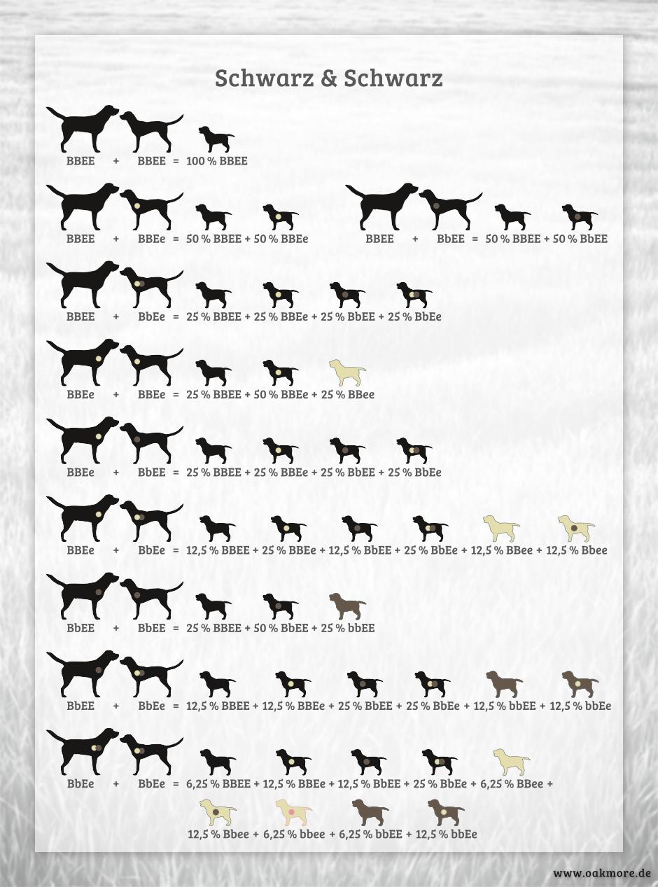 Die Farbvererbung beim Labrador – Schwarz & Schwarz