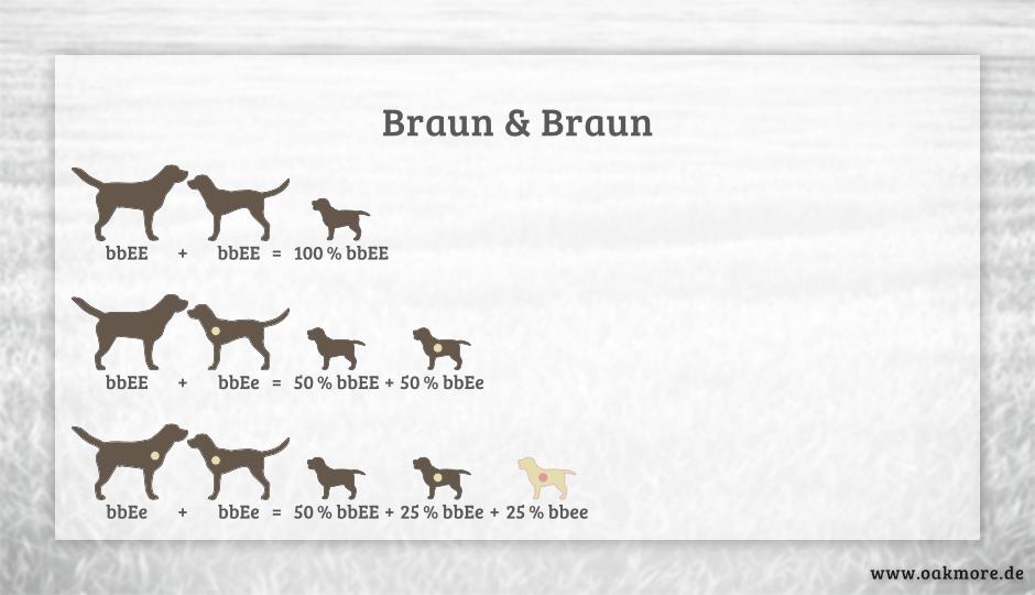 Die Farbvererbung beim Labrador – Braun & Braun