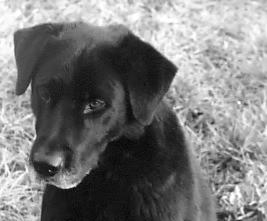 Die Geschichte des Labrador Retrievers