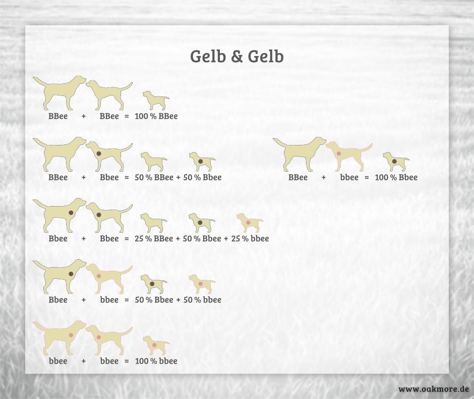Die Farbvererbung beim Labrador – Gelb & Gelb