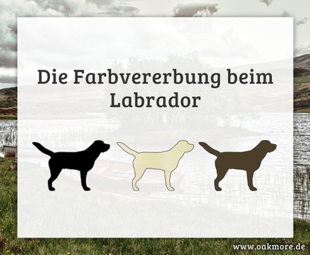 Die Farbvererbung beim Labrador
